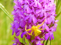 Yellow Crab Spider (Misumena vatia) Royalty Free Stock Image