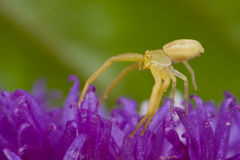 Yellow crab spider on purple porcupine flower Stock Image