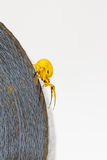 Yellow crab spider on roll of tape Stock Photos