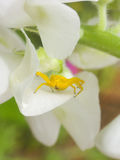 Yellow crab spider that is sitting on a white flowers Stock Photography