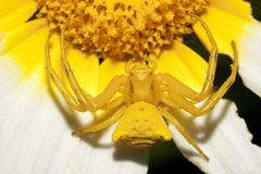 Yellow crab spider (Thomisus onustus) Royalty Free Stock Image