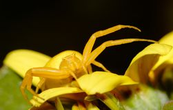 Yellow crab spider Thomisus onustus closeup. Close up image of a yellow crab spider in a stalking position  on a yellow flower with black copy space Royalty Free Stock Photography