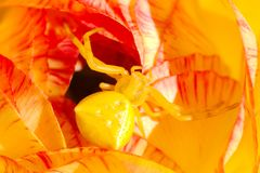 Yellow crab spider Thomisus onustus well camouflaged in flower Stock Photo