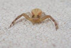 Yellow crab spider Stock Photos