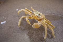 Yellow Crab Royalty Free Stock Image
