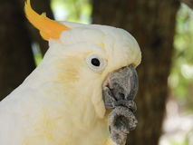 Yellow Creasted Cockatoo. Yellow Crested Cockatoo AKA Sulphur Crested Cockatoo Royalty Free Stock Photo