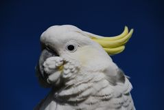 Yellow crested cockatoo Royalty Free Stock Photos