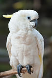 Yellow-crested Cockatoo Royalty Free Stock Image