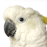 Yellow-crested Cockatoo Royalty Free Stock Photography