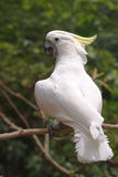 Yellow-crested Cockatoo Stock Images