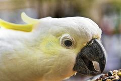 Close Up Of Cockatoo. Yellow crested cockatoo in close up eating seed Royalty Free Stock Images