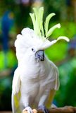 Yellow crested cockatoo eating Royalty Free Stock Images