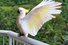 Yellow Crested Cockatoo. Flying to catch balcony rail Stock Photo