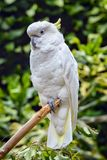 Yellow crested cockatoo. Crested cockatoo hanging on a tree branch Stock Images