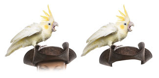 Yellow-crested Cockatoo isolated on white Royalty Free Stock Photography