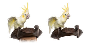 Yellow-crested Cockatoo isolated on white Royalty Free Stock Images