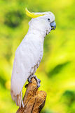 Yellow Crested Cockatoo Royalty Free Stock Images