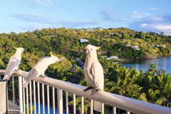 Yellow Crested Cockatoos. Catch on the balcony rail Royalty Free Stock Images