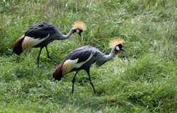 Yellow Crested Crane Royalty Free Stock Photography