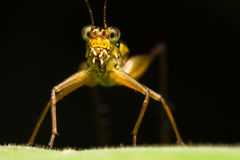 Yellow Cricket Face Macro Stock Images