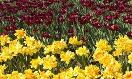 Yellow and crimson tulips Stock Photos