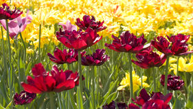 Yellow and crimson tulips Royalty Free Stock Photo