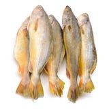 Yellow Croaker Fish Royalty Free Stock Photo