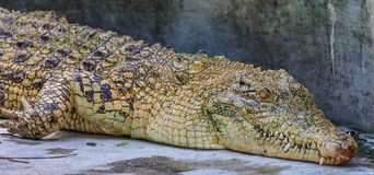Yellow Crocodile Stock Images