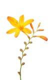 Yellow crocosmia flower Stock Photography