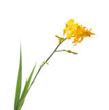 Yellow crocosmia (montbretia) Royalty Free Stock Photos