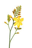 Yellow crocosmia (Montbretia),. Isolated on white stock photography