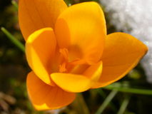 Yellow crocus Stock Photography