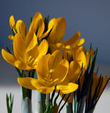 Yellow crocus Stock Image