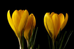 Yellow crocus. Crocus is a flowering plants in the Iris family. In the Nordic countries it´s  a sign of spring Stock Photos