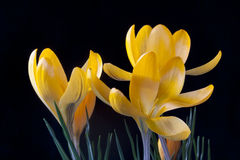 Yellow crocus. Crocus is a flowering plants in the Iris family. In the Nordic countries it´s  a sign of spring Royalty Free Stock Image