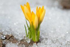 Yellow crocus. Es on the snow Stock Image