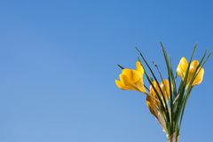 Yellow crocus. Stock Photography