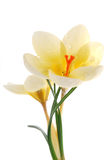 Yellow crocus Royalty Free Stock Photography
