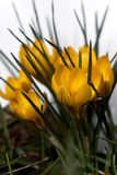 Yellow crocus Royalty Free Stock Photo