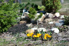 Yellow Crocus on the Alpine hill. Among the pines stock photos