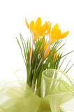 Yellow crocus bouquet Stock Image