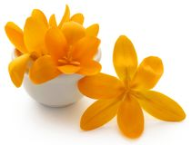 Yellow Crocus. In a bowl over white background Royalty Free Stock Photos