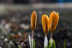 Yellow crocus buds Royalty Free Stock Photography