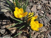 Yellow Crocus Chrysanthus Goldilocks Royalty Free Stock Images