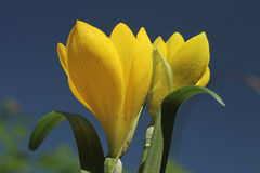 Yellow crocus in early autumn against the blue sky Royalty Free Stock Photos