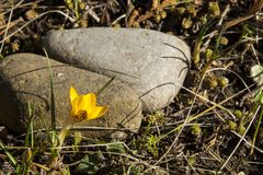Yellow crocus is first spring flower. Royalty Free Stock Photography