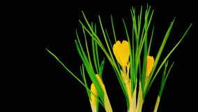 Yellow Crocus Flower Blooming stock video