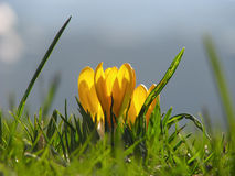 Yellow Crocus Flower in Spring Stock Photography