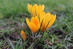 Yellow Crocus Flower in Spring Royalty Free Stock Photography
