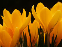 Yellow crocus flowers. Closeup of yellow crocus flowers in bloom with black background Stock Photography